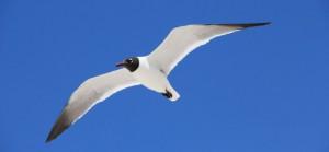 albatros-sm